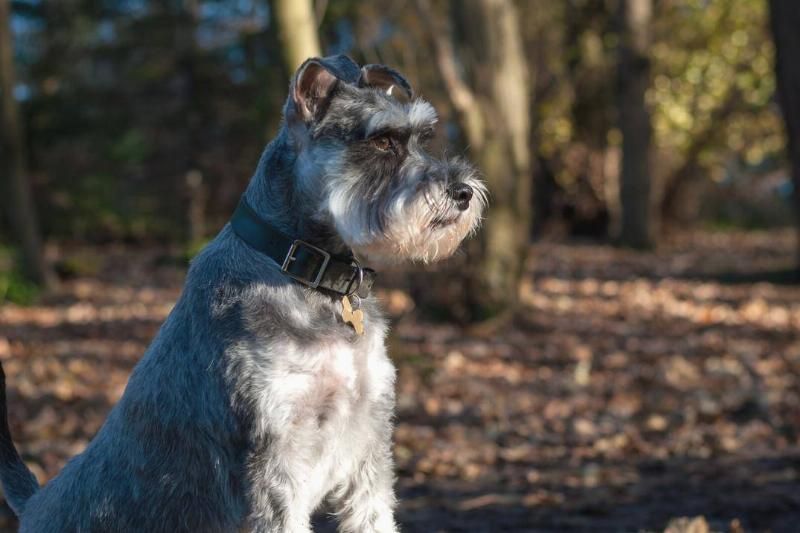 A Schnauzer sits in the forest.