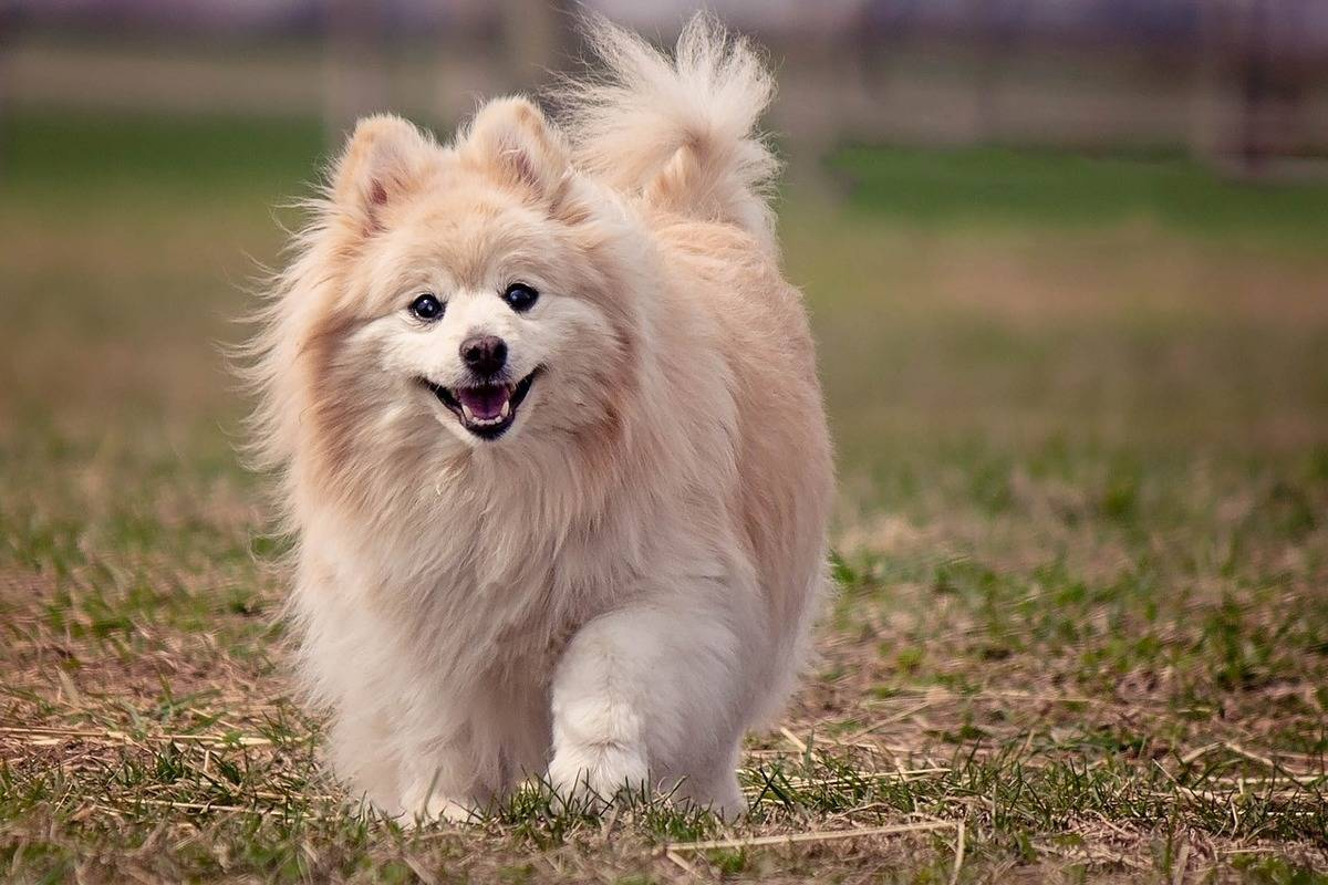 A blonde Pomeranian walks in the grass.
