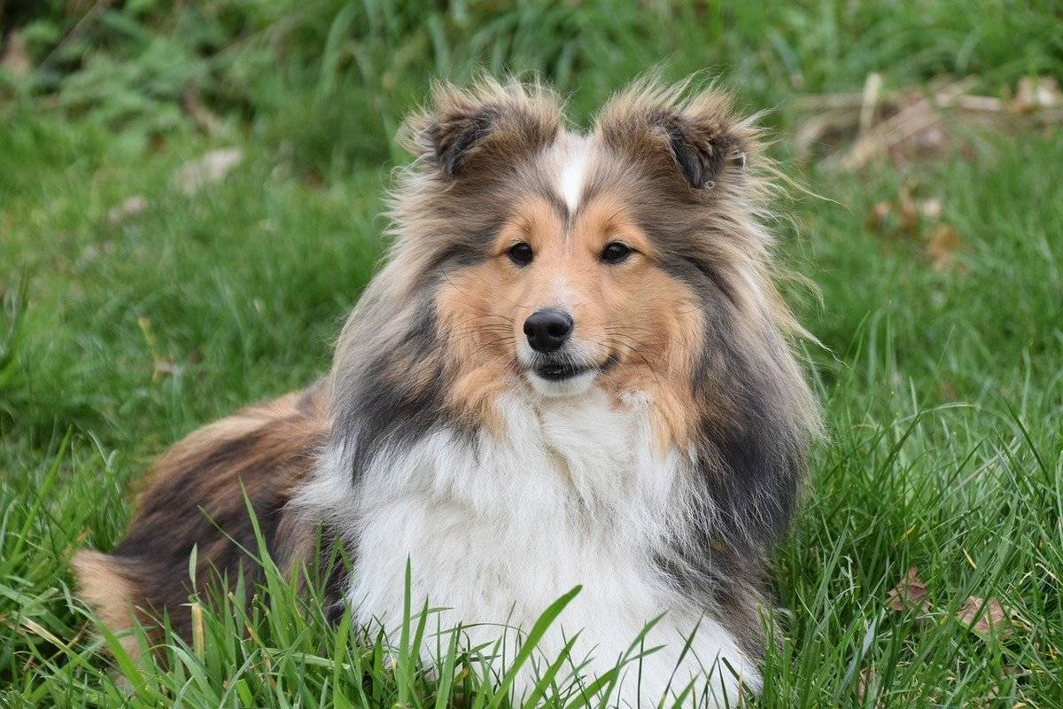 A Shetland Sheepdog lies in the grass.
