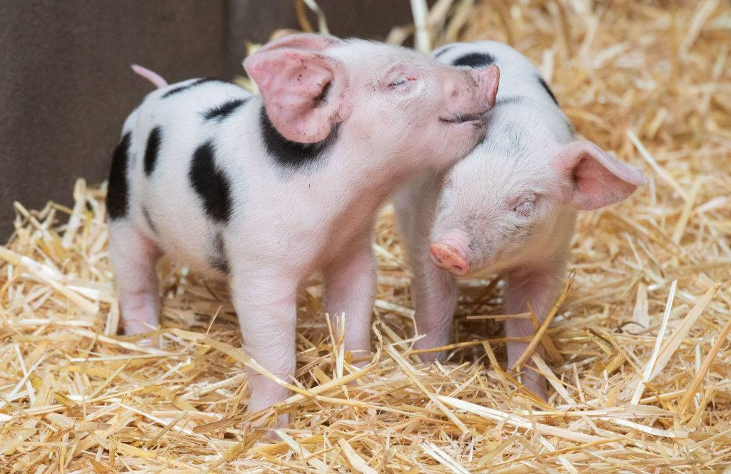 two baby pigs nuzzling in some hay