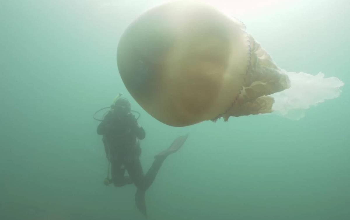 giant-jellyfish-1
