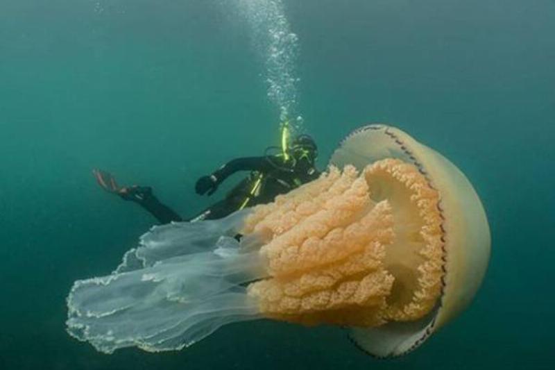 giant-jellyfish-2