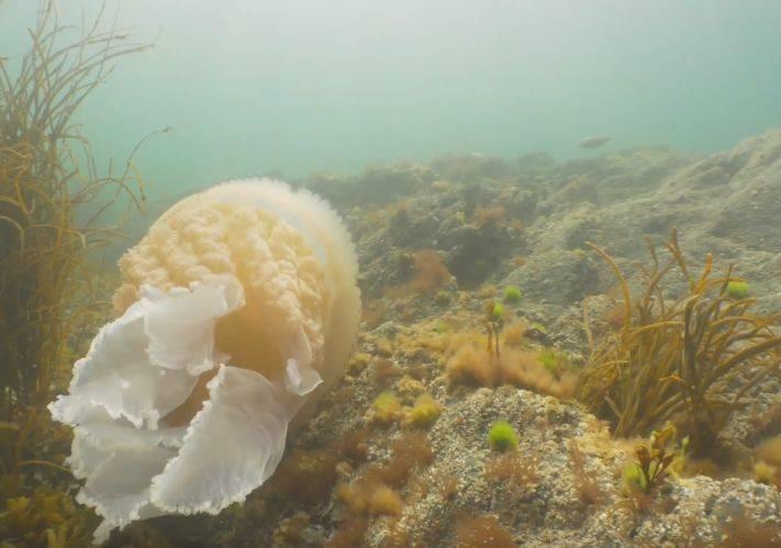 giant-jellyfish-4