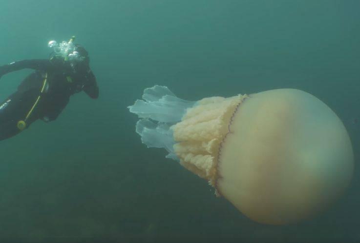 giant-jellyfish-5