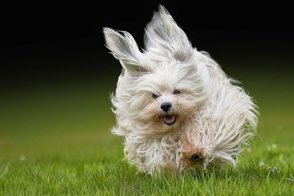 A Havanese races across grass.
