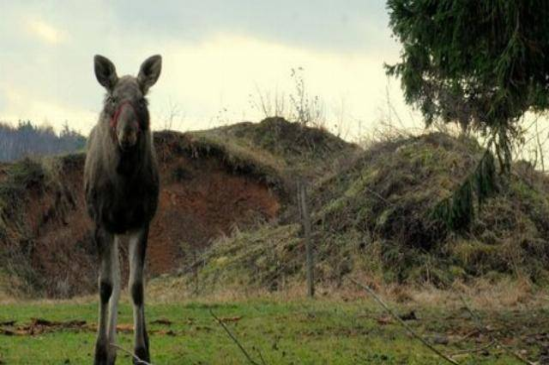 moose-standing-at-dusk-95307