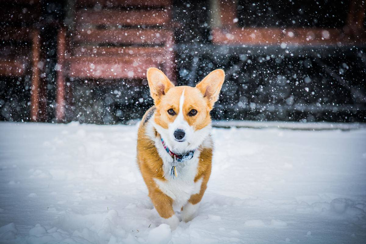 A Pembroke Welsh Corgi walks through snow.