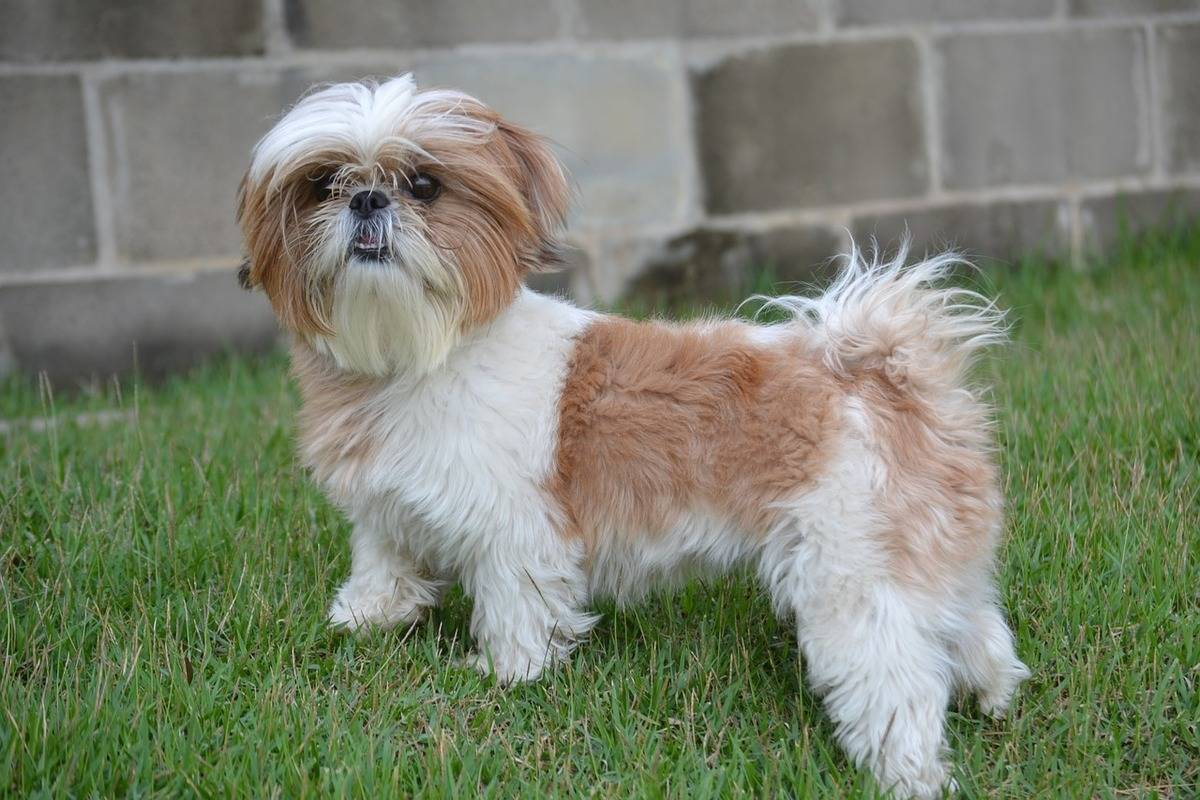 A Shih Tzu stands in the grass of a yard.