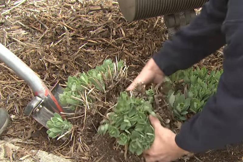 A gardener divides perennials.