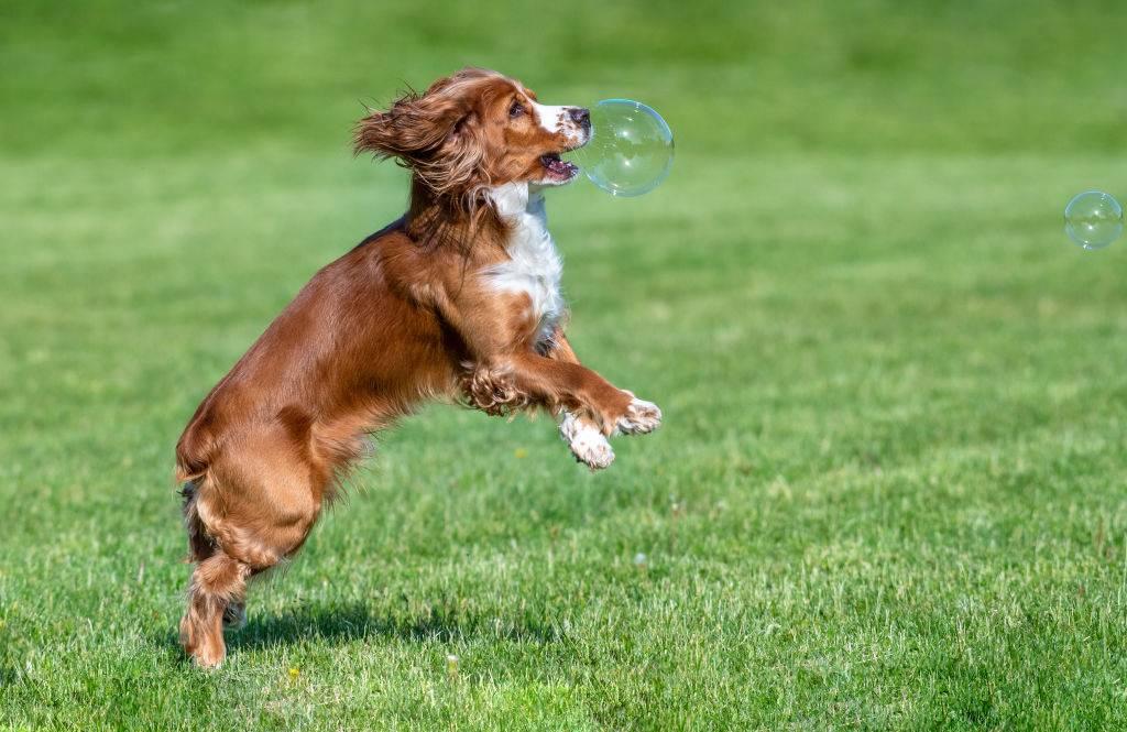 A dog runs towards a bubble.