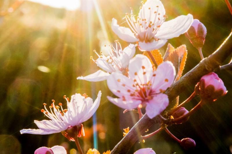The sun shines through plum blooms.