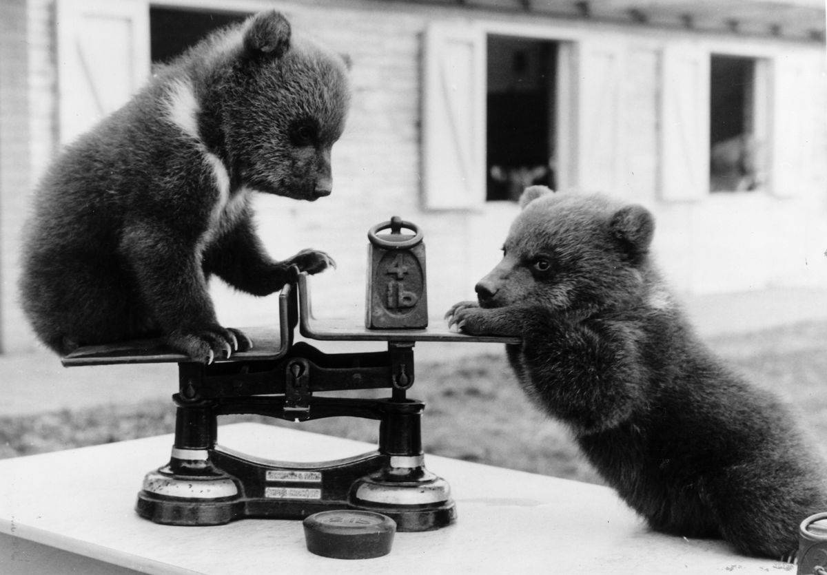 bear cubs playing with scale
