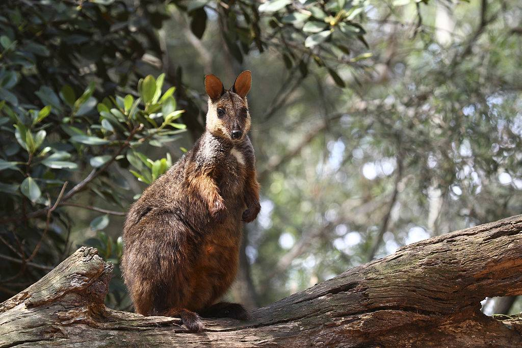a wallaby on a tree