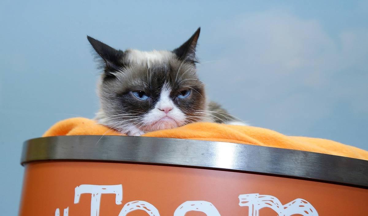 Grumpy Cat (snowshoe breed)