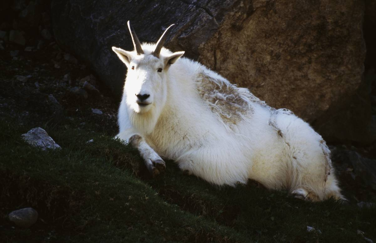 Mountain goat or Rocky mountain goat (Oreamnos americanus), Glacier National Park, Montana, United States of America