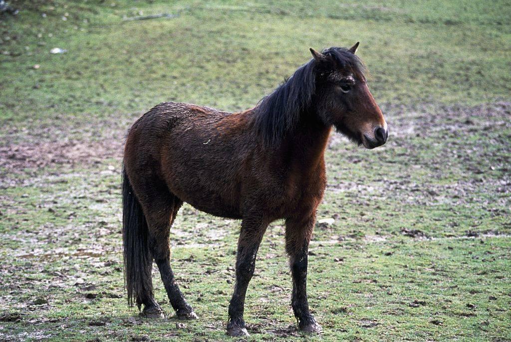 a pony on sable island