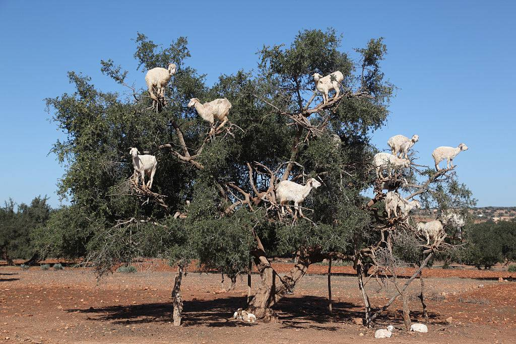 goats hanging out in trees