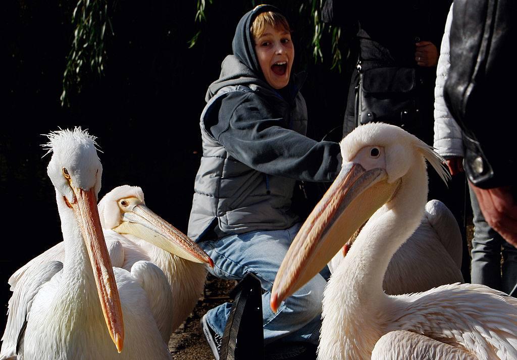 a pelican in london