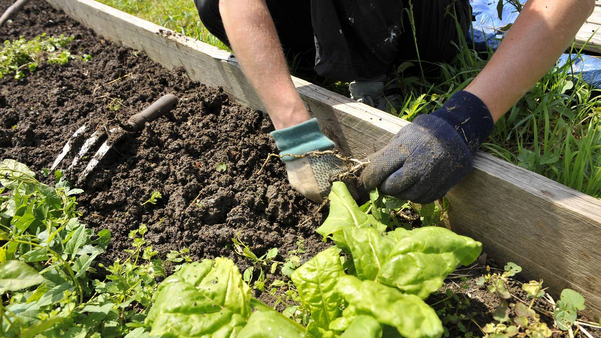Weeding the vegetable plots
