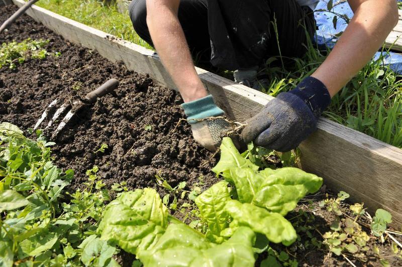 A gardener weeds their vegetable plots.