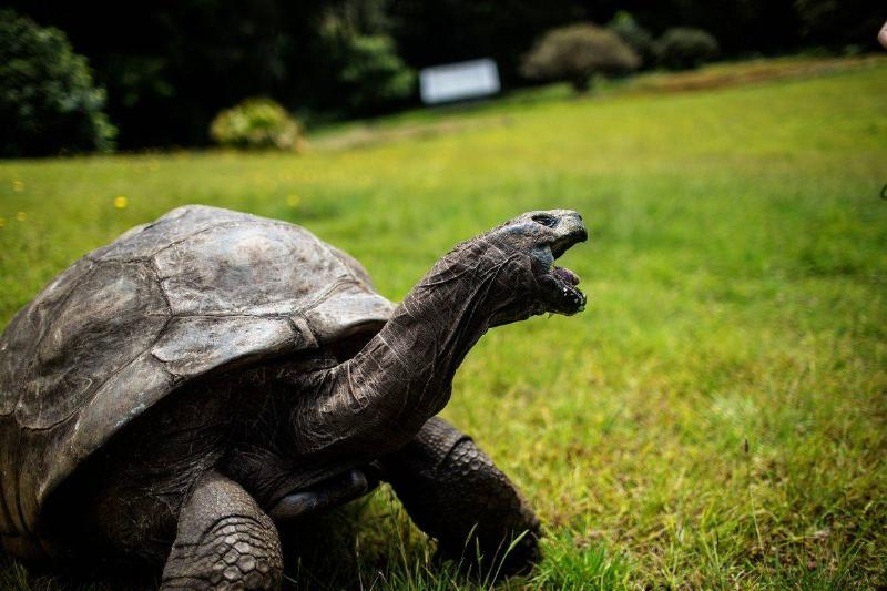 Jonathan, a Seychelles giant tortoise, believed to be the oldest reptile living on earth with and alleged age of 185 years, crawls through the lawn of the Plantation House, the United Kingdom Governor official residence on October 20, 2017 in Saint Helena, a British Overseas Territory in the South Atlantic Ocean