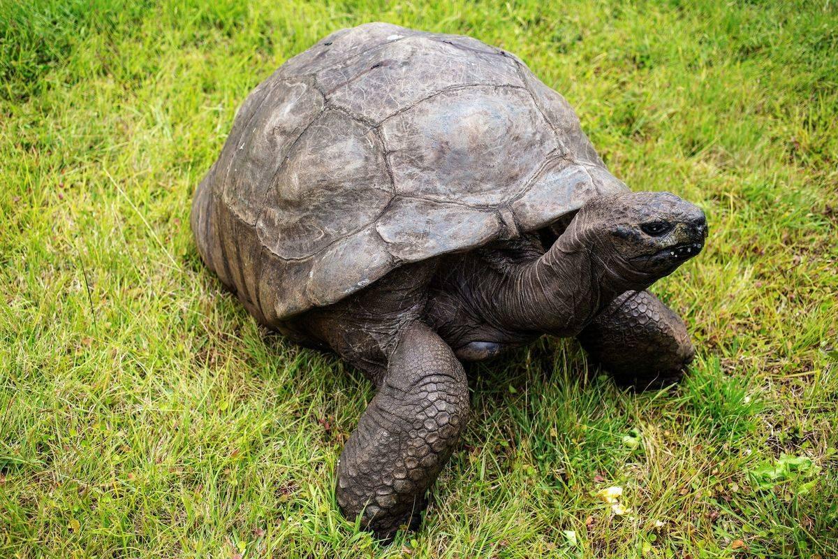 jonathan the tortoise standing