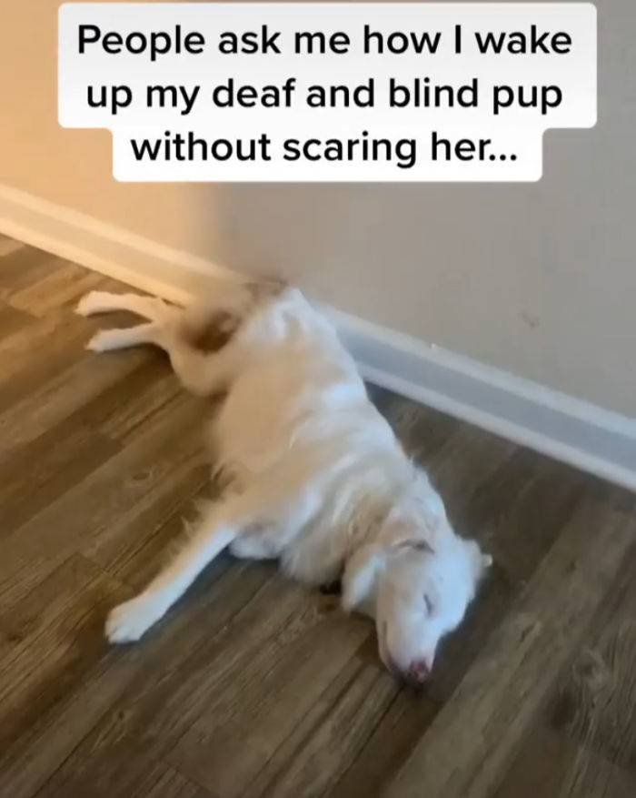 people ask me how i wake up my deaf and blind pup without scaring her