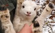 smiling goat being help in someone's arms