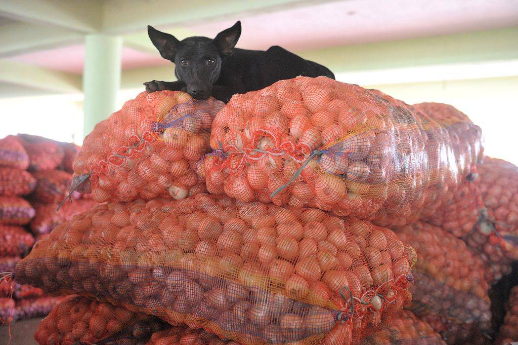 a black dog on top of several bags of onions