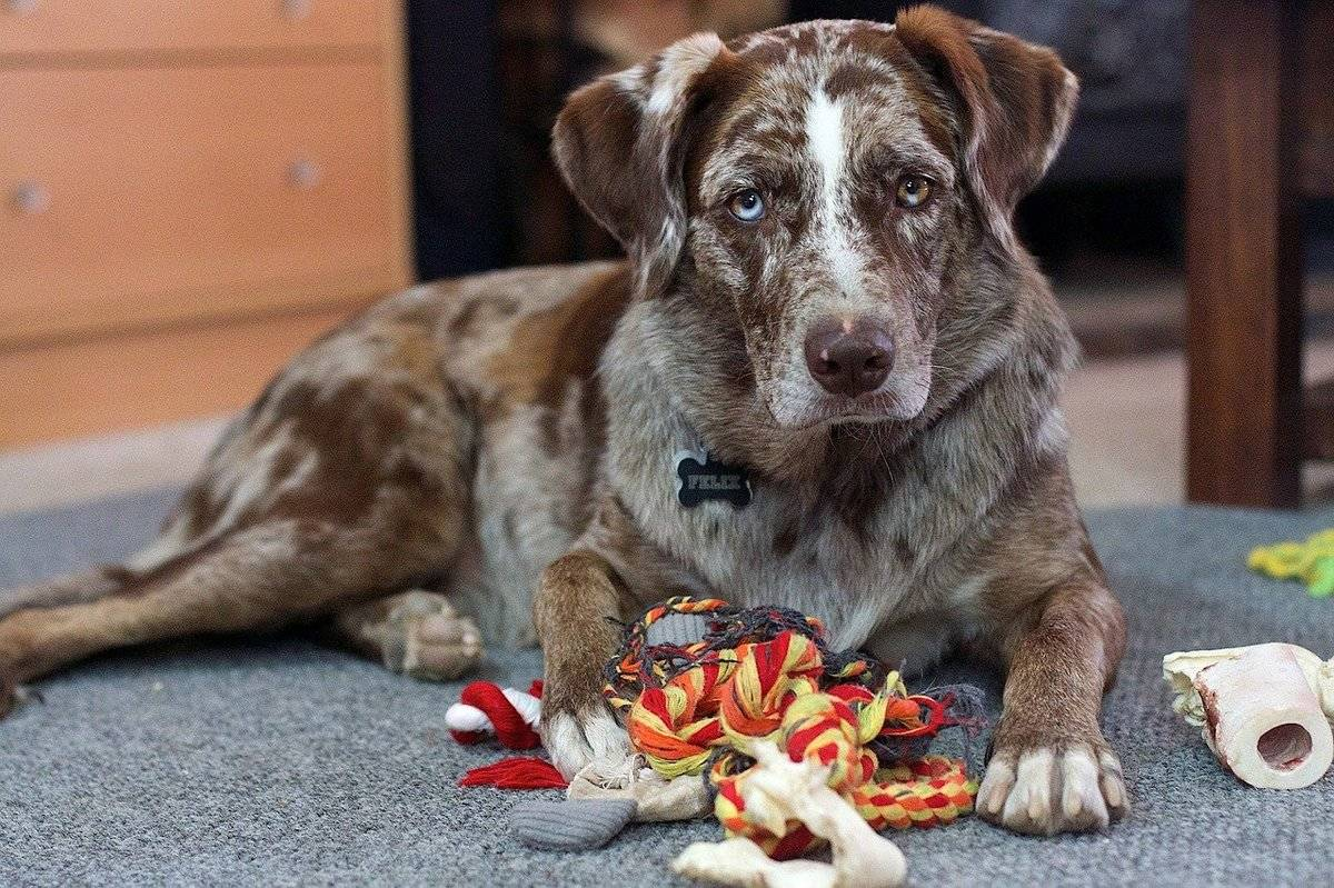 A dog lays over its toys.