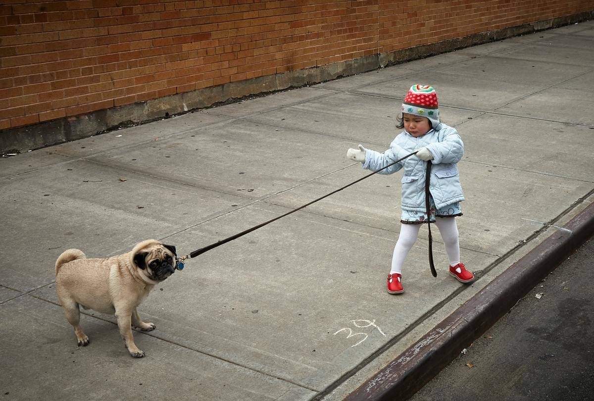 girl trying to drag pug behind her