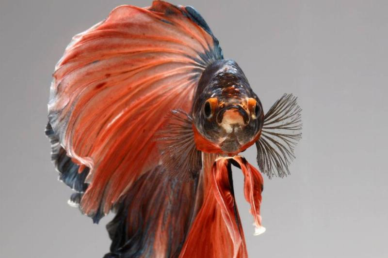 A red and blue betta fish stares into the camera while swimming.