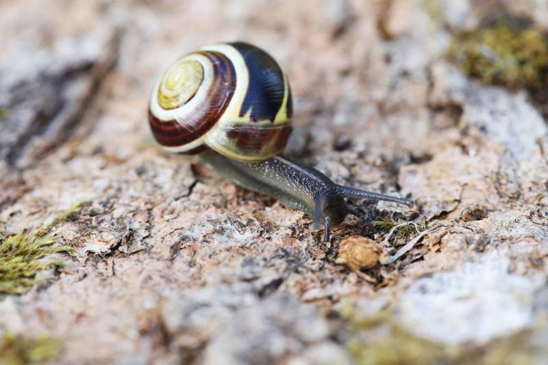 A snail crawls on tree bark.