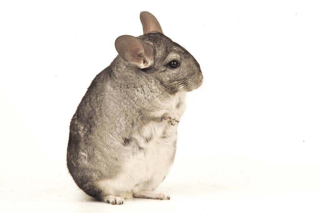 A chinchilla stands on its hind legs.