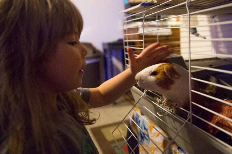 A little girl pets her guinea pig.
