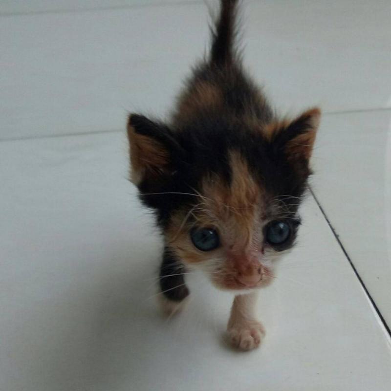 abandoned-calico-kitten-runt-27767