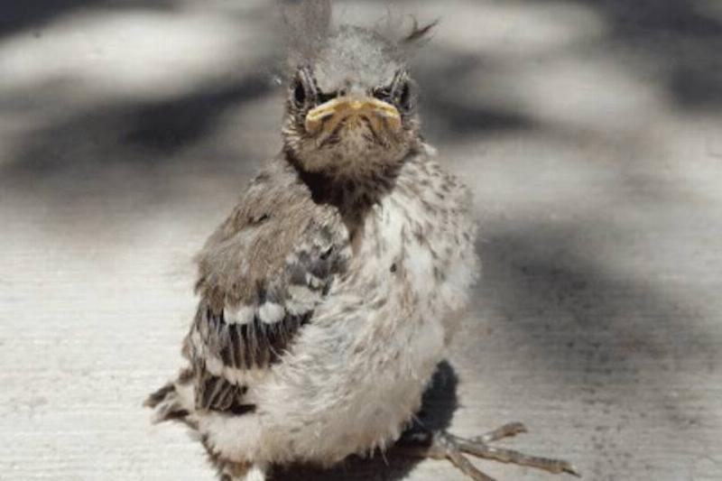 angry-baby-bird