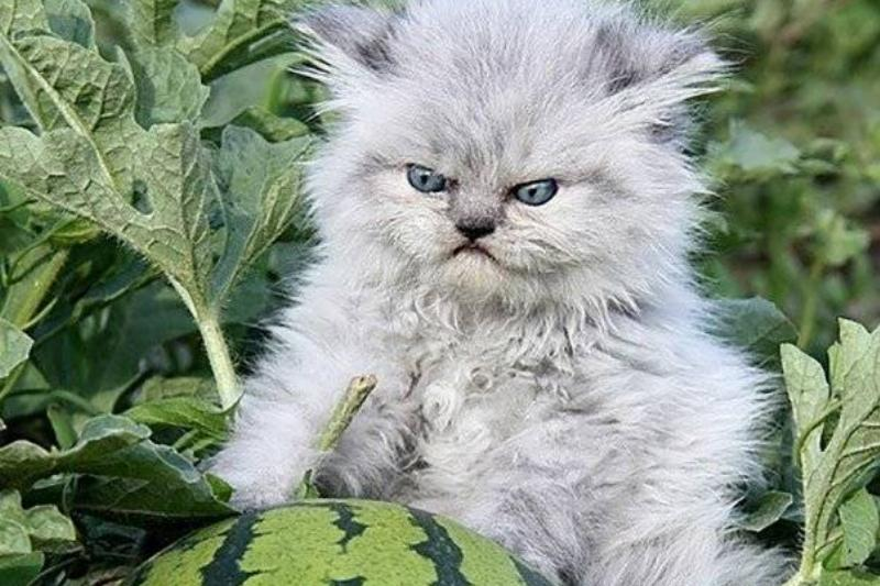 angry-watermelon-cat
