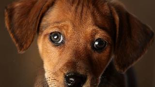 A seven week old Daschund cross puppy