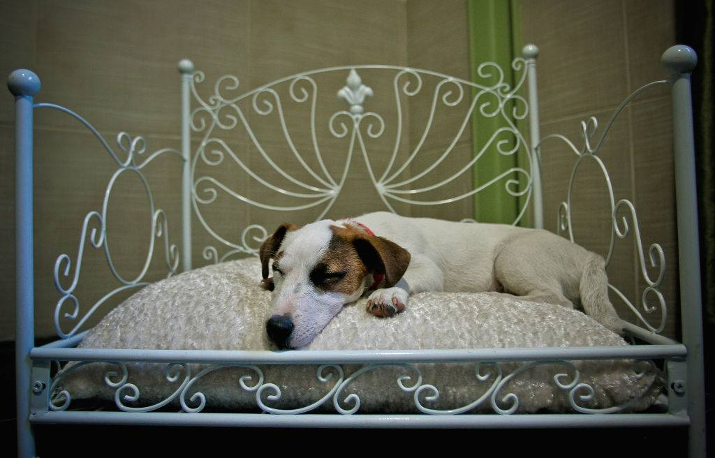 a Jack Russell terrier sleeps in bed