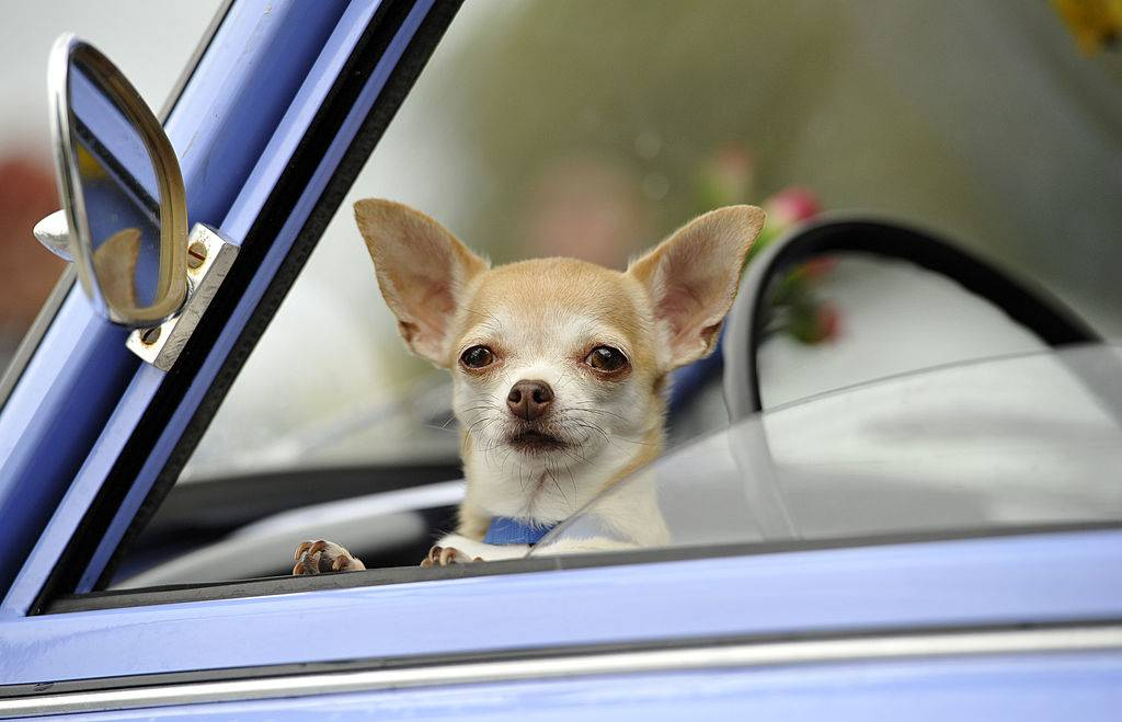 Chihuahua dog waits inside a Trabant 601 car