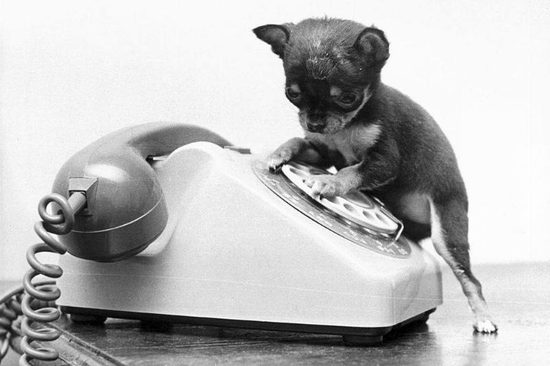 a tiny dog dialing a rotary phone