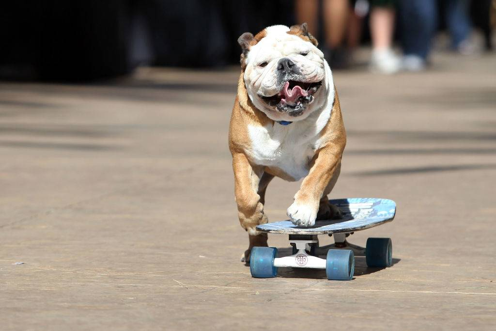 a dog riding a skateboard