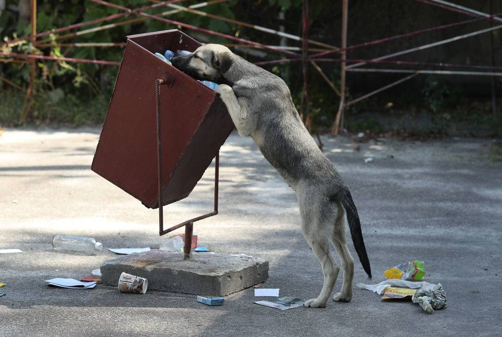stray dog sniffs for food in a trash can