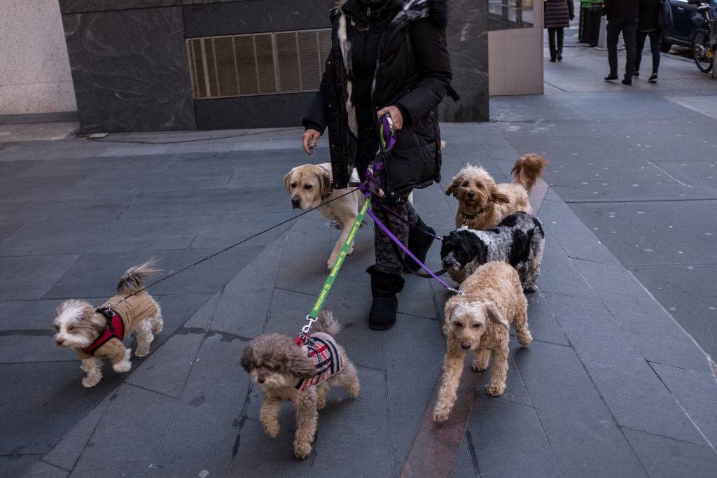 A woman takes multiple dogs for a walk