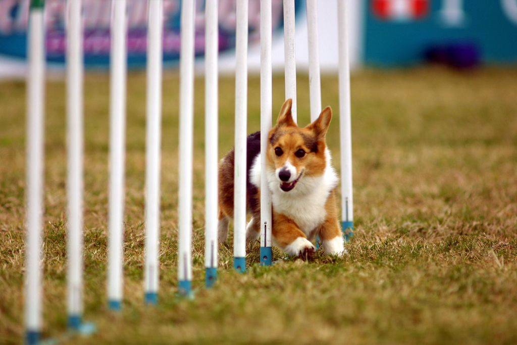 a corgi dog weaving through white rods