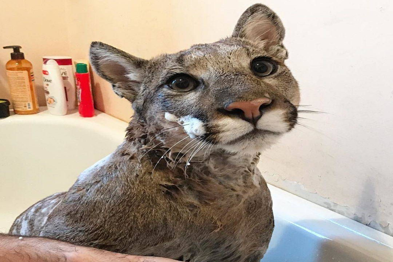 puma-housecat-all-lathered-up-31251