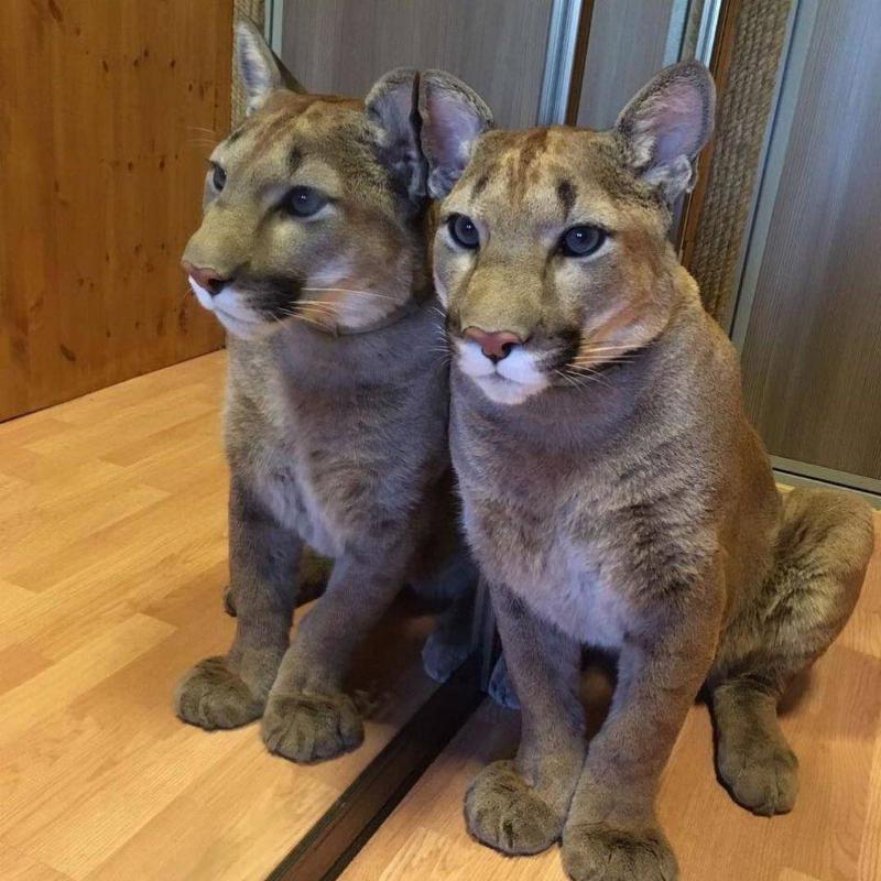 puma-housecat-leaning-on-mirror-16661