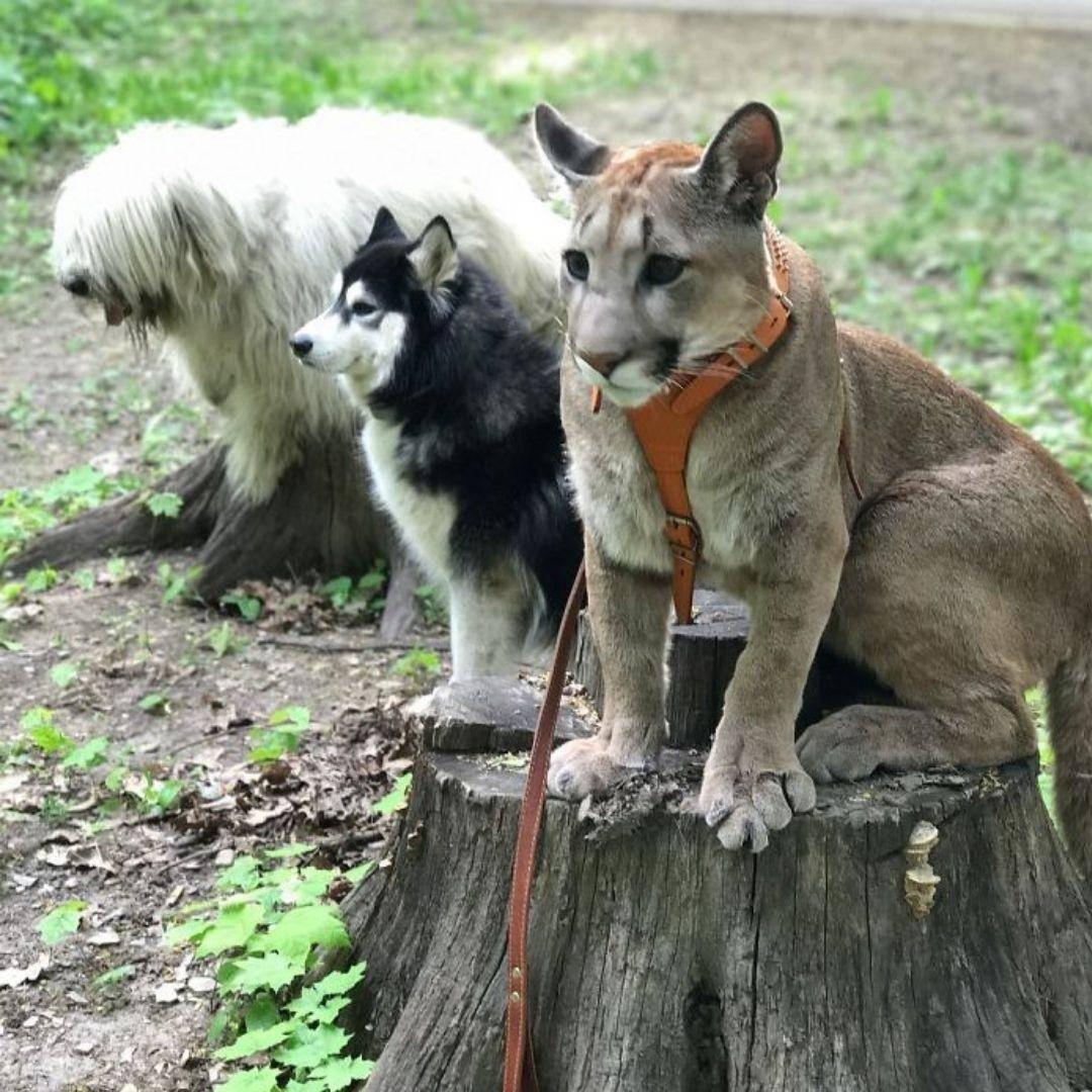puma-housecat-on-a-stump-85208