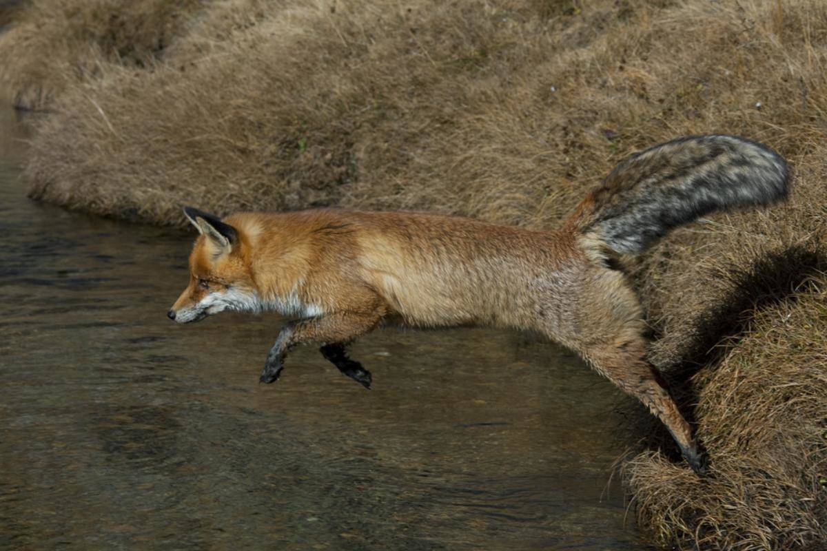 Why Australians Kill Foxes On Sight